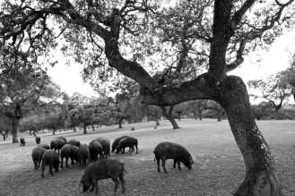 Cerdos en la Sierra de Aracena (Huelva)
